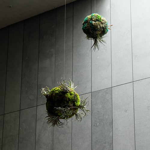 Closeup of biospheres. Living air plants, living and preserved mosses, wire. Approx. 50cm diameter